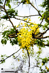 Natural Ornaments (Cassia fistula) (Sagor's) Tags: flower flowerphotography flowers may nature nikon naturalphotography natural naturephotography nikond5300 nikon5300 tamron tamron17 tamron1750 17 50 1750 yellow yellowflower light lights leaves leaf tree trees green sun sunlight sunray color colour colours colors colorful colourful