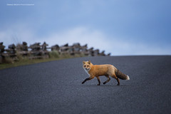 Why did the fox cross the road? (ArmanWerthPhotography) Tags: armanwerthphotography redfox washington