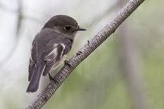 Rose Robin 2017-04-20 (60D_9825) (ajhaysom) Tags: roserobin petroicarosea woodlandshistoricpark greenvale melbourne australia australianbirds canoneos60d sigma150600