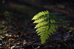 The light of the dark site of the wood (Xtraphoto) Tags: macro macromonday leave blatt foliage grün green licht fern farn light wood mm