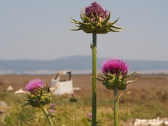 Thistle and a destroyed boat (Nikos Karatolos) Tags: kalochori thessaloniki delta axiou greece mussel houses abandoned samyang 50mm f12