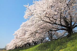 2017 Sakura blooms