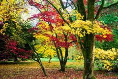 westonbirt arboretum - autumn colors (vinothgurusamy) Tags: westonbirt arboretum autumn colors nikon d810 2485