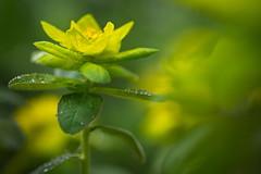 Wet Wet Wet (Stefan Zwi.) Tags: blume flower wild wildblume 105mm f28 sigma sony a7 ilce7 emount farbe flora closeup macro nature background wolfsmilch euphorbia regen wet rain