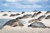 Monk seal among Green sea turtle (Papahānaumokuākea Marine National Monument) Tags: northwesternhawaiianislands papahānaumokuākea papahanaumokuakea marinenationalmonument worldheritagesite koamatsuoka monkseal ilioholokauaua monachusschauinslandi greenseaturtle honu cheloniamydas