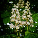 Horse Chestnut Flowers thumbnail