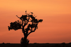 Tree silhouette (Mathieu Pierre) Tags: kenya sunset maasai mara safari f28 7d canon eos vanguard tripod grip 7dmark2 sunlight wildlife africa 300mmf28 goldenlight sunrise 7dmarkii cuteanimal beautiful masaimara maasaimara