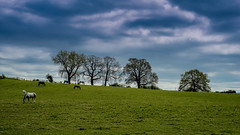 Simple pleasures (SpectrumLight) Tags: landscape rural countryside field horse tree horizon england kent nature flickr sky cloud grassland grass animal spring seasons