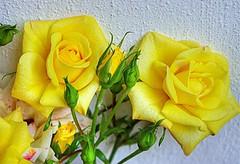 * Rose di maggio  *  May's rose  * (argia world 1) Tags: rose rosegialle giardino muro roses yellowroses garden wall masterphotos