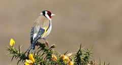 Goldfinch 080517 (Richard Collier - Wildlife and Travel Photography) Tags: wildlife naturalhistory birds britishbirds british goldfinch ngc