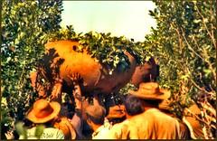 yerba mate (susanamule) Tags: yerbamate hachado recolección secado empaquetado misiones nordestedeargentina sudamérica susanamule