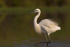 VC290815_3 (Ricky_71) Tags: little egret egretta garzetta nikon
