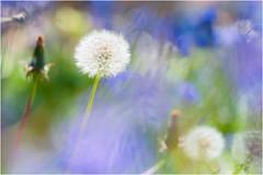 Childhood Dreams (h_cowell) Tags: dandelion colour dreamy dreaming nature spring sun sunshine effect blur blurred zoomed haze panasonic gx7 art