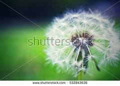 stock-photo-white-dandelion-532843636 (daria.boteva) Tags: allergy pollen background beauty blossom blowball blowing bright change colour concepts cycle dandelion enjoyment environment floating flower flying fragility freedom fresh green growth horizontal life lifecycle light luck meadow morning movingup nature newlife nobody photography plant pollination season seed seedling space spring stem summer sunlight time weed white wind wish
