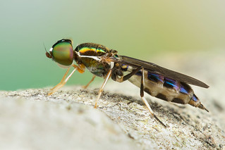 Sargus fasciatus (Stratiomyidae)