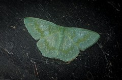 Prasinocyma lychnopasta (dustaway) Tags: arthropoda insecta lepidoptera geometridae geometrinae geometermoth geometridmoth australianmoths australianinsects tamborinemountain mounttamborine sequeensland queensland nature australia prasinocyma