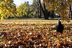 Magpie in leaves RSA_2213.jpg (ImaginingsLifeImages) Tags: pinoak aves plants une birds palustris fagaceae northerntablelands cracticus newengland eudicot wildlife tree animals fauna magpie places autumnleaves fagales nature magnoliophyta animalia chordata australian oak phanerogamae australia magnolopsida leaves plant tibicen beech flora flowering artamidae plantae angiospermae dicot nsw armidale quercus passeriformes armidaleregion