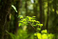 Dream (Kristian Francke) Tags: forest green bokeh dof depthoffiled helios helios44k zenit pentax bc canada plant tree trees salmonberry bush nature natural photography naturephotography beautiful cool