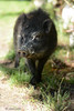 Dans le jardin (isabellechmiel1) Tags: jardin ferme groin cochon animal