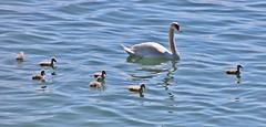 Familienausflug (Hugo von Schreck) Tags: swan schwan bird vogel lindau bayern deutschland wasser water see lake canoneos5dsr tamron28300mmf3563divcpzda010 germany bavaria europe onlythebestofnature