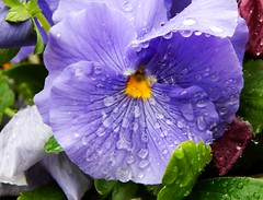 Pansy and Rain (starmist1) Tags: pottedflower raindrops drops pansy frontporch potted morningrain rainstorm