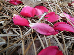 Petals On The Ground. (dccradio) Tags: lumberton nc northcarolina robesoncounty pinestraw flowergarden flowerbed rosegarden ground plant petals pinkpetals rosepetals flowerpetals rose roses floral flowers flower nature natural outside outdoors project365 photooftheday photo365