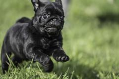 Carlini del Poderuzzo (BauToFocus) Tags: animal animali animals cane cani dog dogs pet pets pugdog pug bautofocus
