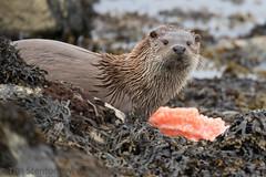 European Otter (Lutra lutra) 08 May-17-22484 (tim stenton www.TimtheWhale.com) Tags: commonotter eurasianotter europeanotter islands landmammal lutralutra lutrinae mammal mustelid notcaptive otter scotland shetland shetlandisles unst wild