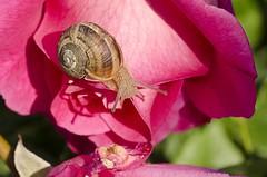 Snail (ambrama) Tags: nikon d7000 nikkor macro snail lumaca natura rosa