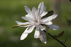 Magnolia stellata (wietsej) Tags: magnolia stellata sony 100 100mm stf a7rm2 a7rii flower arboretum hetleen eeklo belgium wietse jongsma