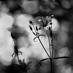 Fleur de mai (steph20_2) Tags: panasonic gh3 lumix m43 45mm monochrome monochrom fleur flower noir noiretblanc ngc blanc black bw white skanchelli bokeh macro closeup