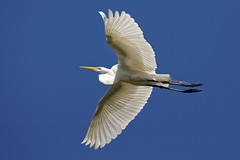"Great Egret Flies Over (dcstep) Tags: n7a3580dxo birdinflight flight flying wing wings pixelpeeper ""canon 5d mkiv"" ""ef 100400mm f4556l is ii"" ""all rights reserved"" ""copyright 2017 – david c stephens"" ""st augustine"" fl florida ""alligator farm"" augustine alligator ""dxo optics pro 114"" nature sanctuary egret greategret handheld"