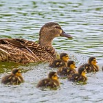 Mother and Her Fluffy Babies thumbnail