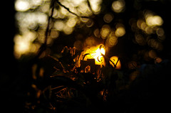 sunset and honeysuckle (pepperberryfarm) Tags: smca35105mmf35 sunset honeysuckle