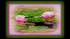 water lilies II (milomingo) Tags: nature flower bloom petal blossom lily waterlily pink white green lilypad frame photoborder black photoart a~i~a water aquatic plantlife botanical reflection outdoor texture vivid bold vibrant striking vividstriking