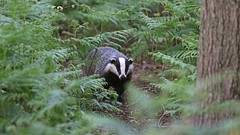 A late night Badgering... {explored} (Cosper Wosper) Tags: badger somerset levels explore