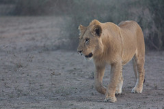 Young lion on a dusty evening (Ring a Ding Ding) Tags: 2017 africa animal bigcat lion ndutu nomad pantheraleo serengeti tanzania cat nature outdoor predator safari wildcat wildlife younglion arusharegion coth ngc