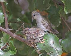 Costa's Hummingbird (female) (Keith Carlson) Tags: costashummingbird calyptecostae hummingbird nests