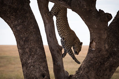 The Dismount - Leopard - Serengeti (virtualwayfarer) Tags: leopard bigcat wild wildcat wildleopard largeleopard leopardintree leopardinatree treecat predator panthera panther tanzania tanzanian visittanzania unesco unescoworldheritage worldheritagesite eastafricariftvalley eastafrica lifestyleinspiration untamed raw natural safari photosafari photographysafari canon canon6d travelphotographer traveling exploring pantherapardus felidae subsaharanafrica subsaharan africanleopard majestic innature naturalhabitat habitat climbing alexberger