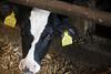 pawu005 (Otwarte Klatki) Tags: krowa krowy mleko zwierzęta cielak ferma andrzej skowron