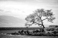 Forgotten Years (Thomas Hawk) Tags: hawaii maui wailea bw tree fav10 fav25
