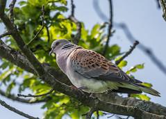 Turtle Dove ( Streptopelia turtur ) Male (Dale Ayres) Tags: turtle dove streptopelia male bird nature