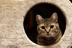 Princess Nala (Explore 5/14/2017) (tkfranzen) Tags: tabby cat pet domesticcat tnclivenature animalplanet princessnala