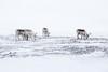 Svalbard Reindeer at Sassendalen S24A8614 (grebberg) Tags: snowmobile tour longyearbyen mohnbukta spitsbergen svalbard april 2017 snow sassendalen rangifertarandusplatyrhynchus rangifer rangifertarandus reindeer mammal svalbardreindeer