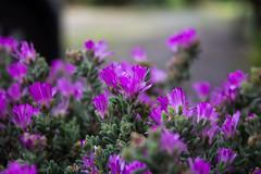 Barba di Giove (gianKE) Tags: flower violet green sun nature beauty tuscany