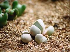 Lapidaria margaretae