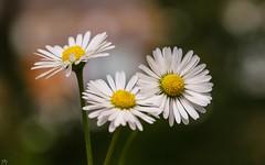 Some Flowers (YᗩSᗰIᘉᗴ HᗴᘉS +5 400 000 thx❀) Tags: canon flowers art artistic daisy daisies hensyasmine nature canoneos7dmarkii