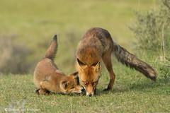 The next generation (hvhe1) Tags: nature wildlife wild fox kit vos welp vulpusvulpus fuchs rénard young puppy play animal mammal cub pup vixen baby holland thenetherlands awd amsterdamsewaterleidingduinen hvhe1 hennievanheerden specanimal