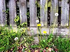 memento mori (friendlydrag0n) Tags: fence grass dandelions dandelion clock