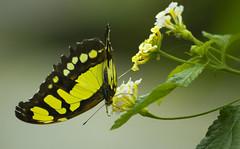 a comer (ebsigma) Tags: parquedelasciencias granada animales mariposa falcon halcón comer parpado color azul butterfly comiendo flor naranja flower insecto palo stik mirada ojo larva pole buho españa